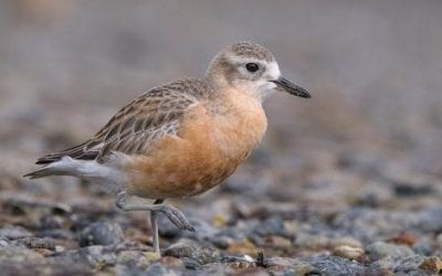 New Zealand Dotterels